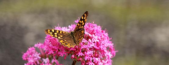 Цветы Мадейры